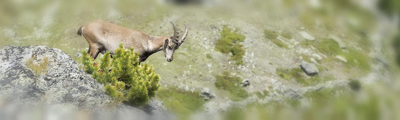 Gemse auf Berggipfel: Überblick gewinnen